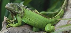 Feeding a Green Iguana
